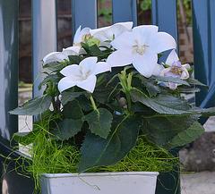 Spathiphyllum, Penstemon, Schefflera, Scindapsus pictus, Calla sp. [id. non terminée] 4belle10