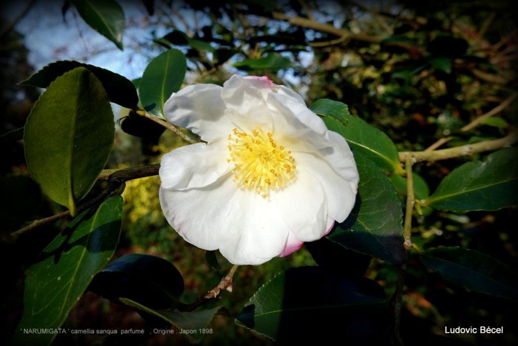 Floraisons automnales et de fin d'année , camellias etc... 4ludo10