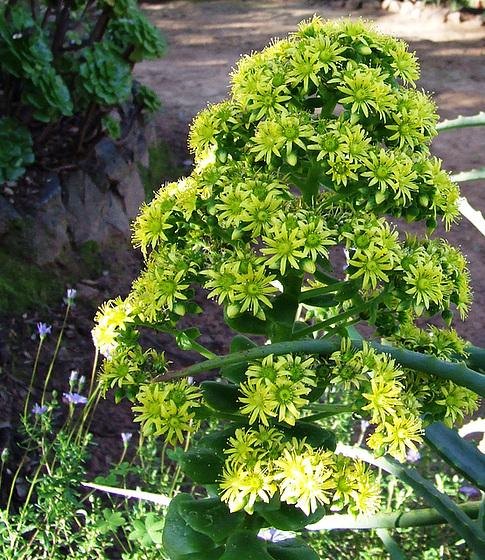 Aeonium arboreum 4melu10