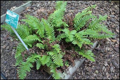 Polystichum aculeatum (= Aspidium aculeatum) 4neor_10