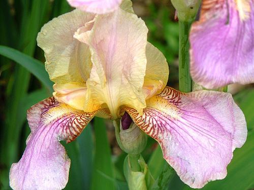 Iris barbus IB et BB (2012-2014) 5-abei11