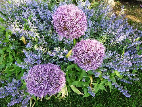 Allium schubertii 5-abei12