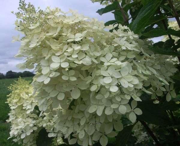 Hydrangea paniculata 5-aval10