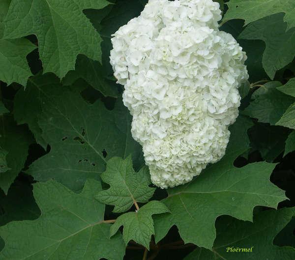 Hydrangea quercifolia 5-aval11