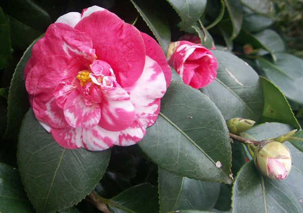 Camellia - choix & conseils de culture 5-aval12