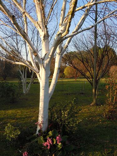 (26) Le Jardin des Sables - un arboretum de passionnés - Montvendres - Page 3 5-betu10