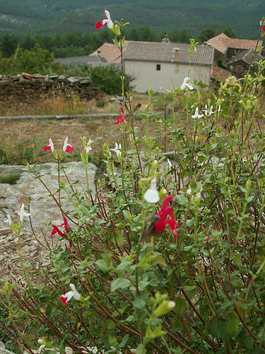 Salvia - variations dans les semis spontanés 5-cuga11