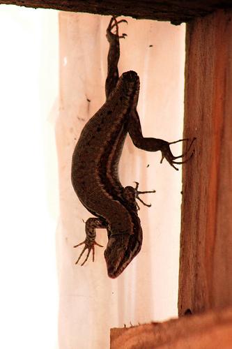 lézards et autres reptiles - Page 5 5-davi10