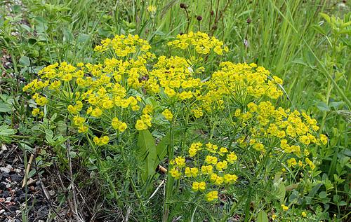Euphorbia cyparissias Horticoles - euphorbe petit-cyprès cultivée  5-neir10