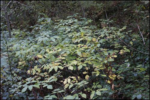 Sambucus racemosa - sureau rouge 5-neir14