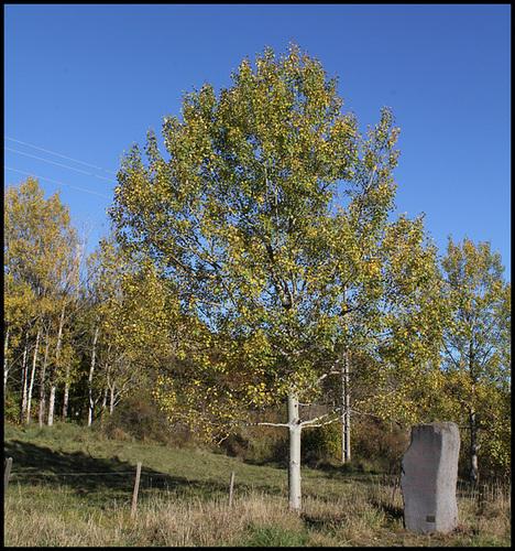 Populus tremula - tremble, peuplier tremble  5-neir15