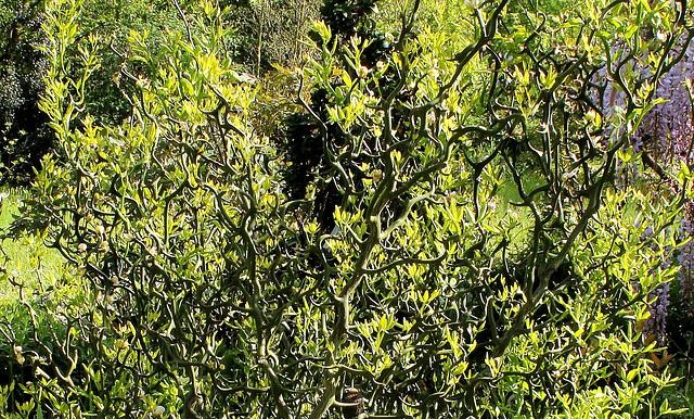 Citrus trifoliata (= Poncirus trifoliata) 5-neir18
