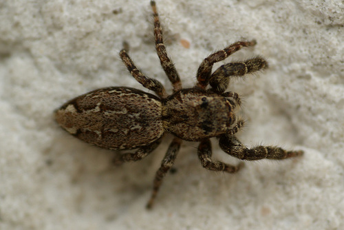 les 8 pattes - araignées et compagnie - Page 14 5-serg29