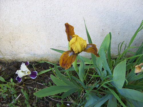 Iris nains horticoles 2012-2015 - Page 4 5-sole10