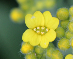 Aurinia saxatilis (= Alyssum saxatile) - aurinie des rochers, alysse corbeille d'or  5109