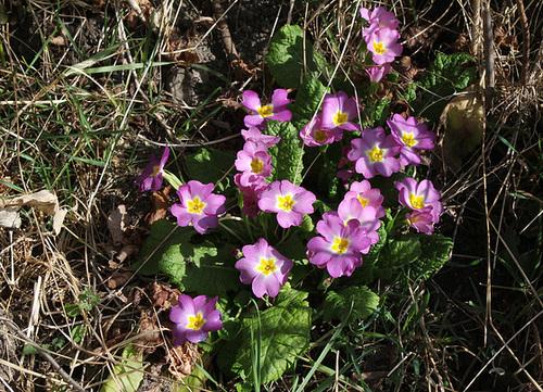 Primula vulgaris - primevère commune, primevère acaule 5112
