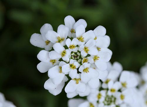 Iberis semperflorens - ibéris toujours fleuri 5113