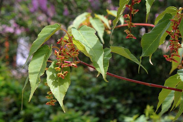 Acer davidii - érable de David, érable serpentine  5117