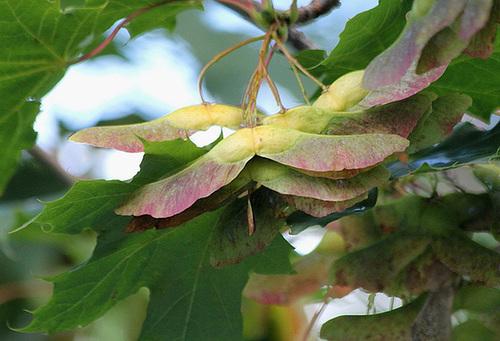 Acer platanoides - érable plane  5119