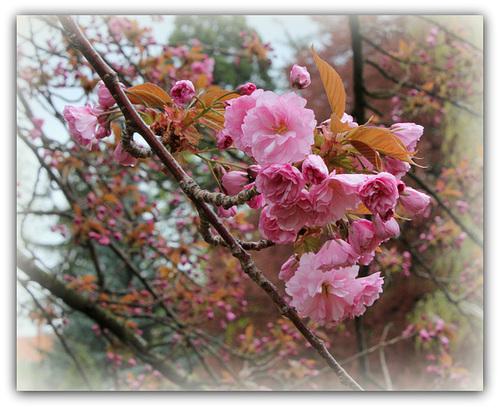 Prunus serrulata - cerisiers à fleurs du Japon 5122