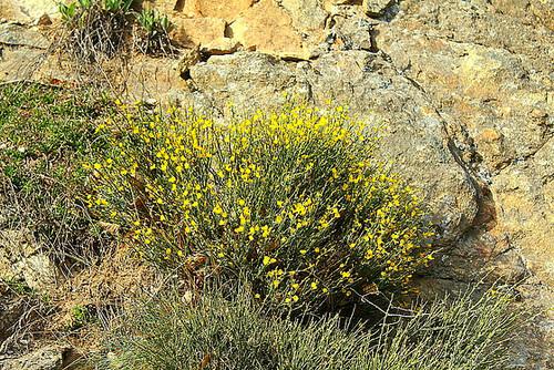 Cytisus oromediterraneus (= C. purgans) - genêt purgatif 5129