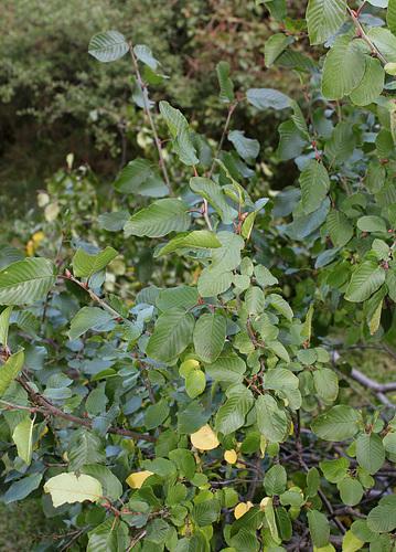 Frangula alnus (= Rhamnus frangula) - bourdaine 5134