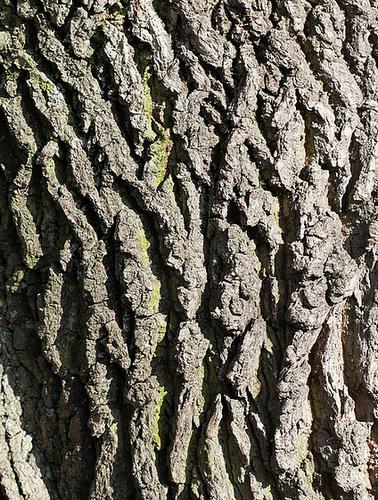 Quercus pedonculatus - chêne pédonculé 5137