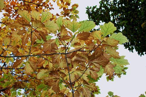 Quercus rubra, Quercus coccinea, Quercus palustris - chênes rouges américains 5139