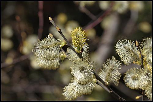 Salix caprea - saule marsault, saule des chèvres 5140