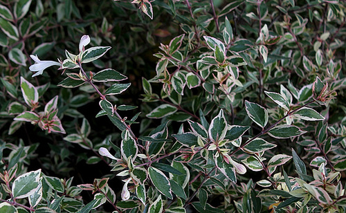 Abelia x grandiflora 5143