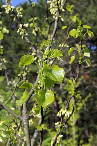 Cercis siliquastrum - arbre de Judée  5144