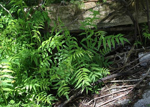Sorbaria sorbifolia - sorbaria à feuilles de sorbier 5146
