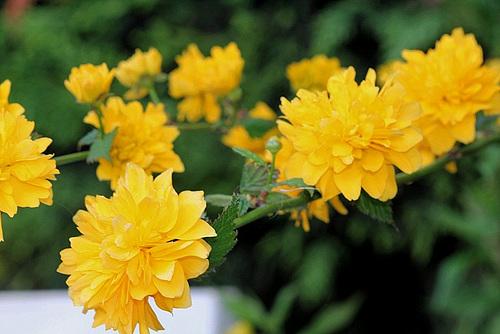 Kerria japonica - corète du Japon 5147