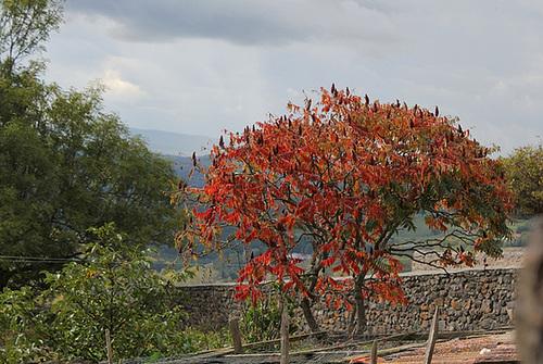 rhus - Rhus typhina - sumac de Virginie, vinaigrier  5149