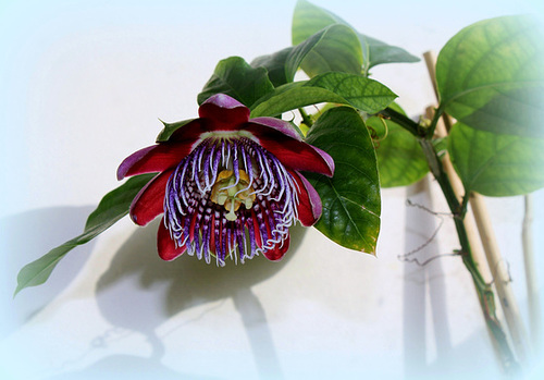 Passiflora quadrangularis et son hybride x Decaisnea 5160