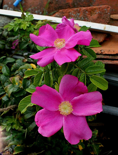 Rosa rugosa - rosier rugueux  5166