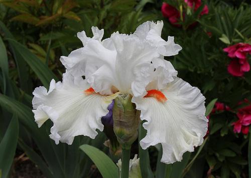 Floraisons de nos Iris barbus 2013 - Page 8 5175
