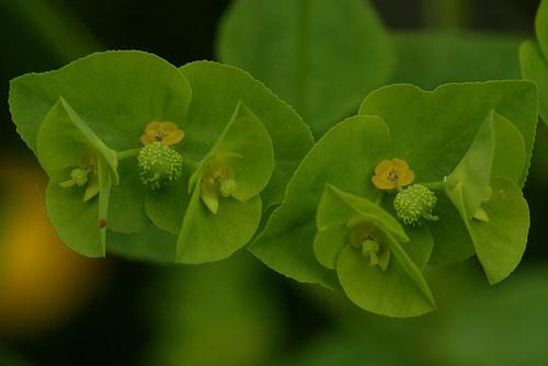 Euphorbia peplus - euphorbe des jardiniers 530