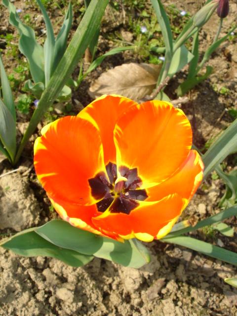 Tulipa - grands hybrides - tulipes chics et kitch (sections 1 à 11) 5310