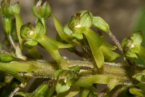 Neottia ovata (= Listera ovata) - grande listère 533