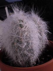 Mammillaria sp., Oreocereus trollii et ?  [identifications non terminées] 535