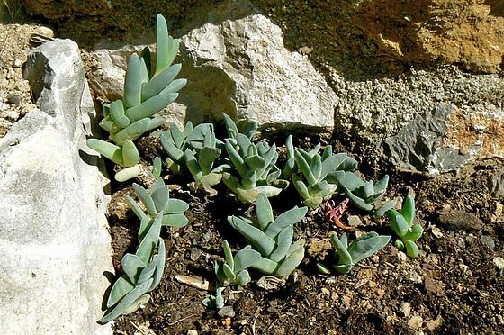 Echinopsis  sp., Mammilaria elongata, Corpuscularia lehmanii, Crassula perfoliata ssp falcata, Crassula perforata, Senecio articulatus [identifications] 537