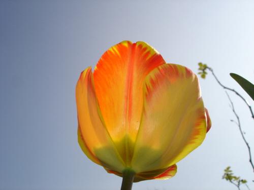 Tulipa - grands hybrides - tulipes chics et kitch (sections 1 à 11) 5410