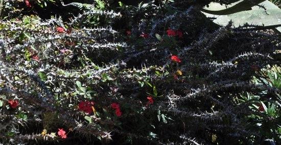 Euphorbia millii 546