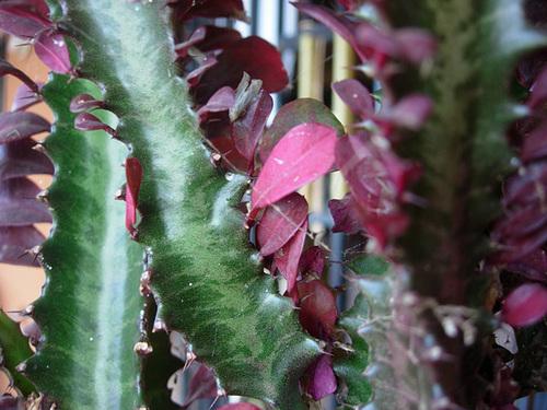 Euphorbia trigona forme rubra  547