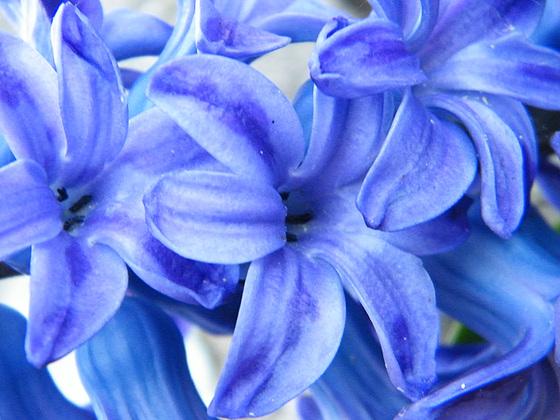 Hyacinthus orientalis - jacinthe 549