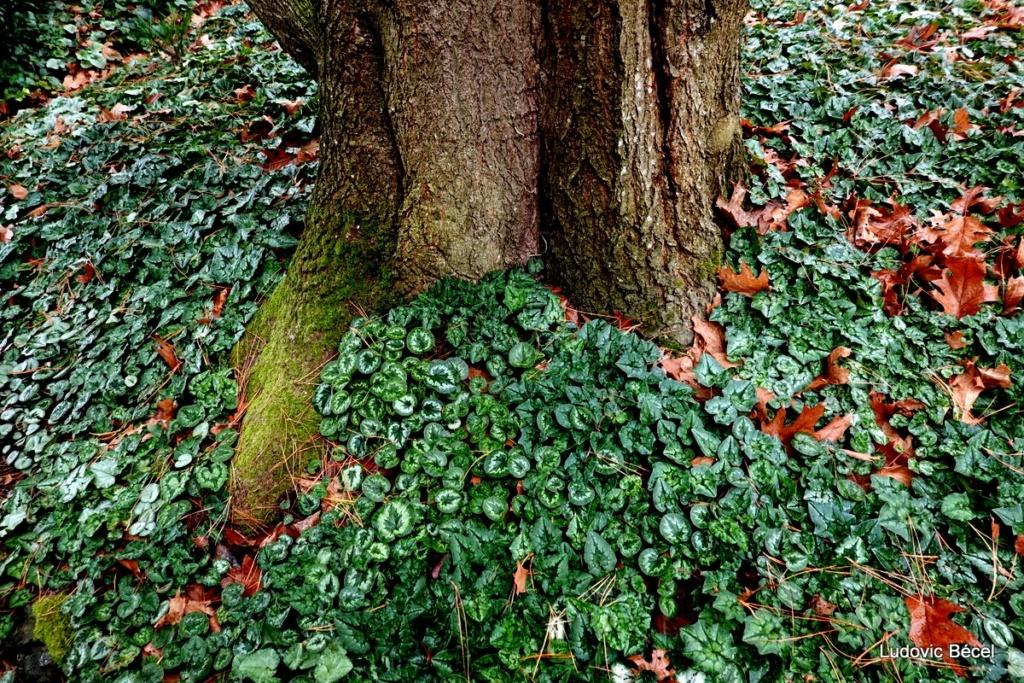 Cyclamen hederifolia = neopolitanum - cyclamen de Naples - Page 3 55ludo11