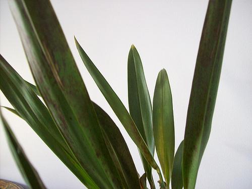 Burrageara 'Nelly Isler' (Cambria hybride) 561