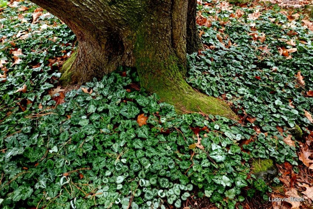 Cyclamen hederifolia = neopolitanum - cyclamen de Naples - Page 3 56ludo10