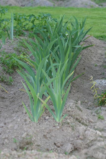 semis d'Iris 5_23ju10